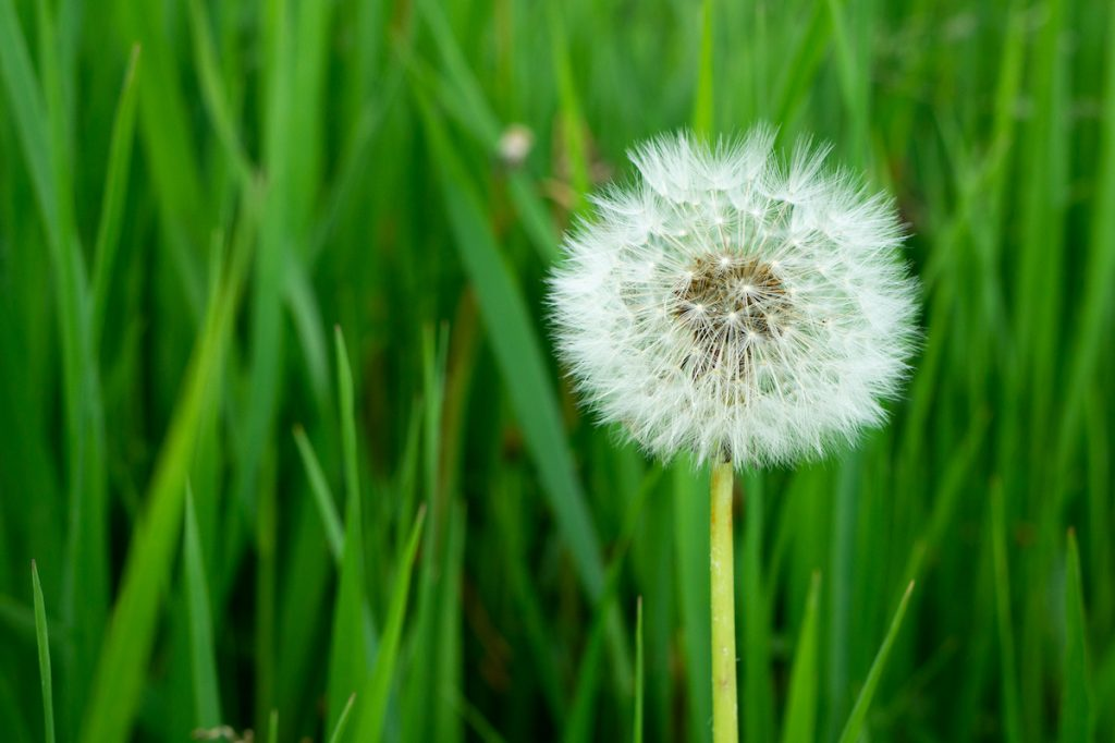 A photo of bright green blades of grass with a dandelion in the foreground.